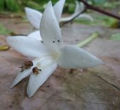 Mali ślimaczki cieszą się jedzący białego kwiatu następy Obraz Stock