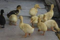 Mali żółci kaczątka na gospodarstwie rolnym Zdjęcia Royalty Free