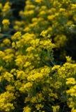 Mali żółci kwiaty aurinia saxatilis w wiosna czasie Fotografia Royalty Free