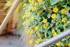 Mali żółci kwiaty na ogródzie jako krajobrazowi projektów elementy Fotografia Stock