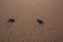Mali żółwie popiera ocean Obrazy Stock