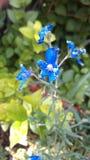 Mali Żywi błękitów kwiaty Otaczający Greenery fotografia stock