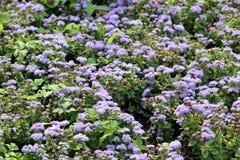 Mali błękitni kwiaty Meksykański paintbrush lub Ageratum houstonianum Fotografia Stock