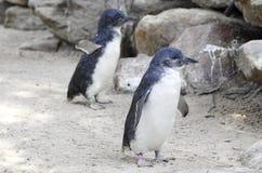 Mali Błękitni pingwiny, Eudyptula nieletni w niewoli Obraz Royalty Free