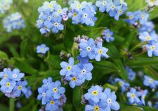 Mali błękitni wiosna kwiaty niezapominajka Zdjęcia Stock