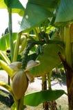 Mali banany na drzewie Zdjęcia Stock