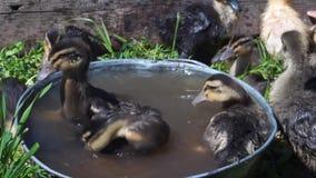 Mali barwioni kaczątka kąpać w małym zbiorniku na pogodnym letnim dniu zdjęcie wideo