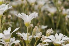 Mali biali dekoracyjni kwiaty Obraz Royalty Free