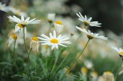 Mali biali kolorów żółtych kwiaty Obraz Stock