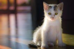 Mali biali koty one liżą czyści themselves obrazy royalty free