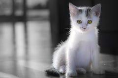 Mali biali koty one liżą czyści themselves zdjęcie stock