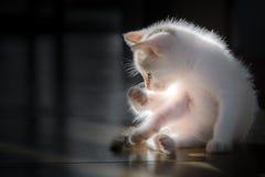 Mali biali koty one liżą czyści themselves obrazy stock