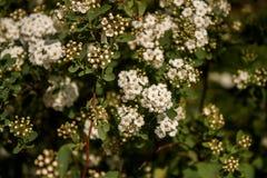 Mali Biali kwiaty Zdjęcia Royalty Free