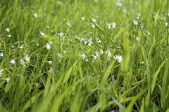 Mali Biali kwiaty Obrazy Royalty Free