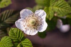 Mali biali kwiaty Fotografia Royalty Free