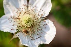Mali biali kwiaty Zdjęcia Stock