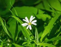 Mali biali kwiaty anemon, w wiosna lesie obraz stock