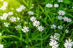 Mali biali kwiaty anemon, w wiosna lesie obrazy royalty free