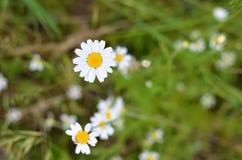 Mali biali kwiaty, makro- fotografia Obraz Stock