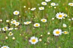 Mali biali kwiaty, makro- fotografia Zdjęcia Royalty Free