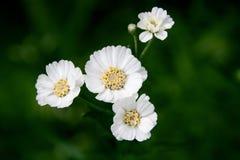 Mali biali kwiaty na ciemnozielonym tle Zdjęcie Royalty Free