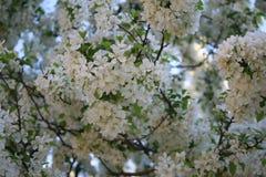 Mali biali kwiaty na drzewie Fotografia Stock