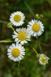Mali biali kwiaty na tle zielona trawa na łące Zdjęcia Royalty Free