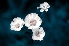 Mali biali kwiaty na zmroku - błękitny tło Obrazy Stock