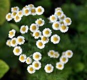 Mali biali kwiaty z zamazanym tłem Obrazy Royalty Free