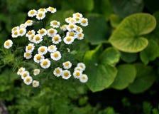 Mali biali kwiaty z zamazanym tłem Fotografia Stock