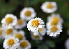 Mali biali kwiaty z zamazanym tłem Obraz Royalty Free