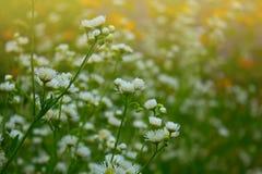 Mali biali lato kwiaty Zdjęcie Stock