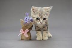 Mali Brytyjscy figlarka marmuru kolory i kwiat Zdjęcie Stock