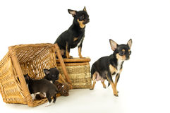 Mali chihuahua szczeniaki, matka i ojciec, zdjęcia stock