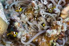 Mali clownfishes fotografia royalty free