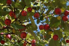 Mali czerwoni jabłka rozmaitość Ranet na drzewie obrazy stock