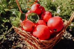 Mali czerwoni jabłka obraz royalty free