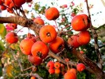 Mali dojrzali jabłka Zdjęcie Stock