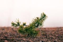 Mali drzewa w mgle i rosie, sosnowy porośle zdjęcia royalty free