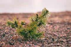 Mali drzewa w mgle i rosie, sosnowy porośle obrazy royalty free