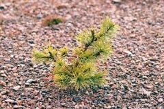Mali drzewa w mgle i rosie, sosnowy porośle zdjęcie royalty free
