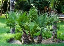 Mali drzewka palmowe Obrazy Stock