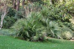 Mali drzewka palmowe na gazonie w parku Fotografia Royalty Free