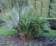 Mali drzewka palmowe na gazonie w parku Obrazy Royalty Free