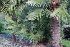 Mali drzewka palmowe na gazonie w parku Obraz Stock
