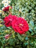 Mali dzicy różani kwiatostany z wodnymi kroplami na płatkach i liściach zdjęcia royalty free