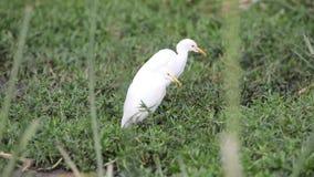 Mali Egrets w obszarze trawiastym zbiory