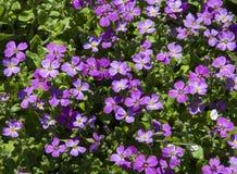 Mali fiołków kwiaty Zdjęcie Stock