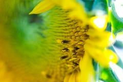 Mali florets kwitnie w słoneczniku obraz stock