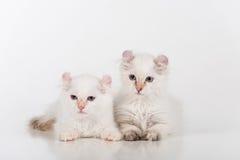 Mali i Młodzi Jaskrawi Biali Smutni amerykanina kędzioru koty Dobierają się obsiadanie na białym stole Biały tło Zdjęcia Royalty Free